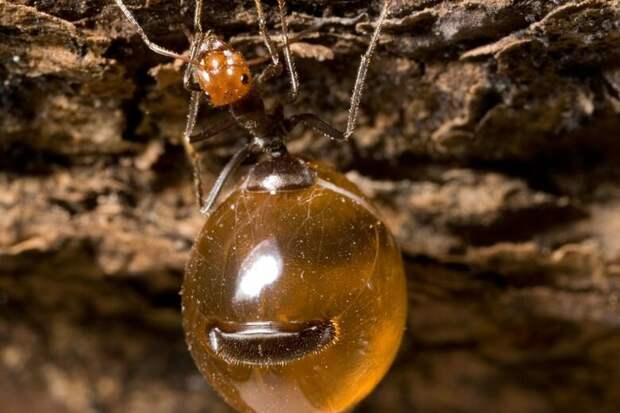 Медовый муравей