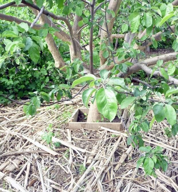Пространство под яблонями можно замульчировать обычным камышом