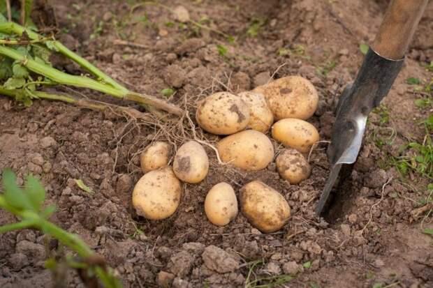 Когда копать картофель в 2021 году