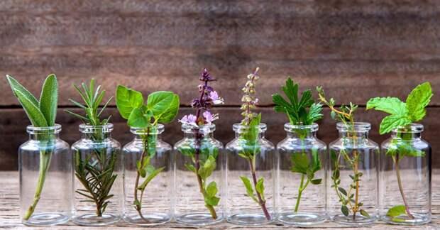 7 целебных ароматных трав можно выращивать круглый год дома, используя только воду