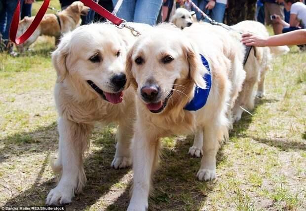Массовый праздник был организован как раз в имении лорда Твидмаута, что стало многолетней традицией. в мире, животные, золотистый ретривер, порода собак, породистые, праздник, собаки, фото