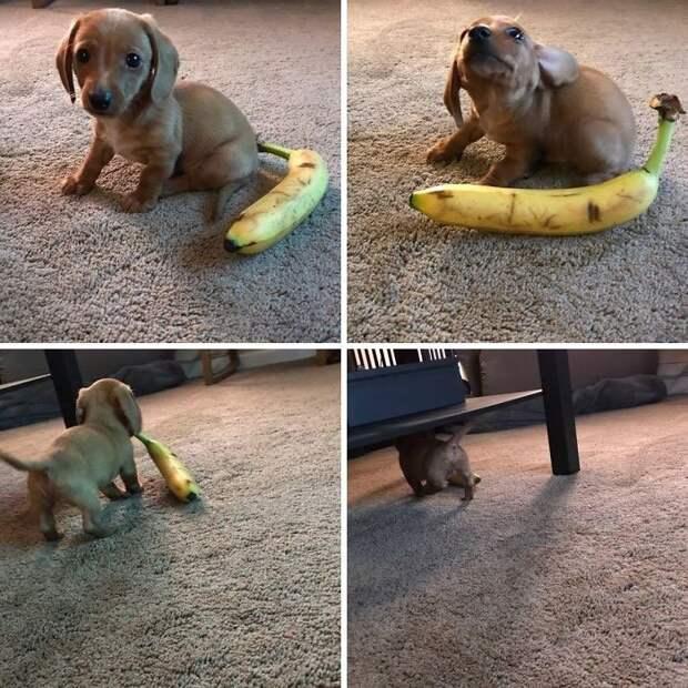 30. Похищение банана животные, настроение, очарование, подборка, собака, фотография, щенок
