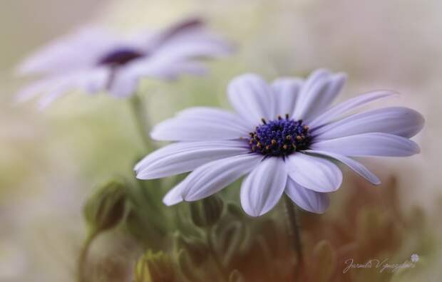 ФОТОВЫСТАВКА. Jarmila Vymazalová: прекрасные цветы