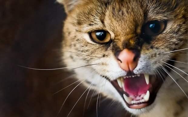Кошка, похожая на рысь-Каракал рычит» — карточка пользователя ...