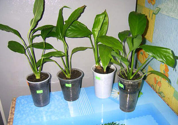 Из одного взрослого растения получено четыре молодых цветка