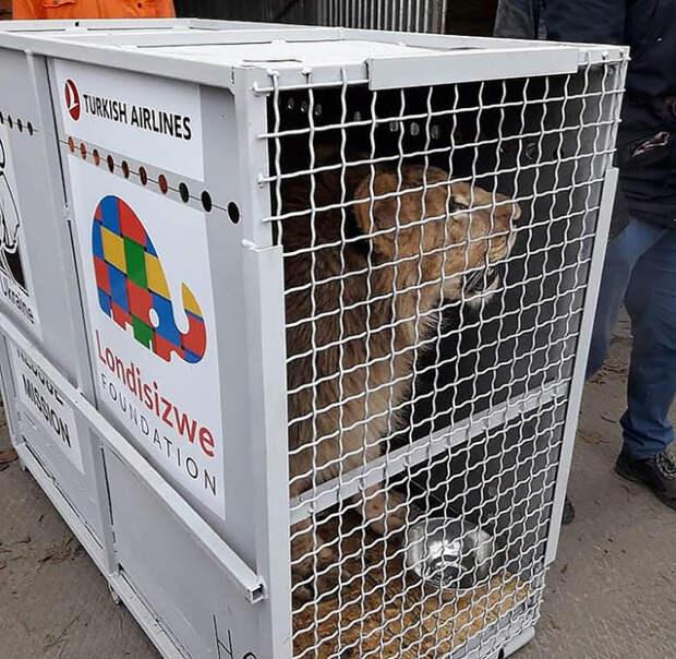Сначала львиц необходимо было перевезти к аэропорту через полстраны.