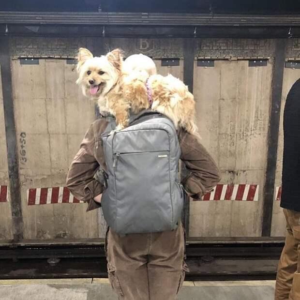 22 фото забавных собак, которые слишком устали, чтобы идти лапками лапки, метро, собака, сумка, шпиц, щенок