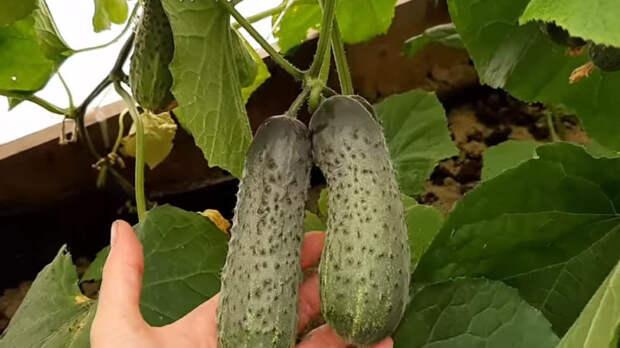Посейте огурцы в марте и собирайте ранний урожай в мае