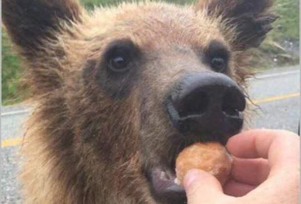 Почему нельзя кормить диких медведей. Это не только опасно, но и очень дорого в мире, животные, люди, медведь, природа, штраф