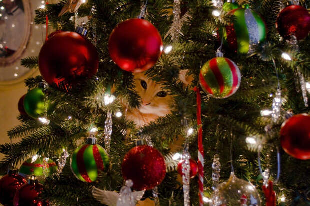 3166706_christmas_cat_by_robert_kim_karend35fj90 (700x466, 120Kb)