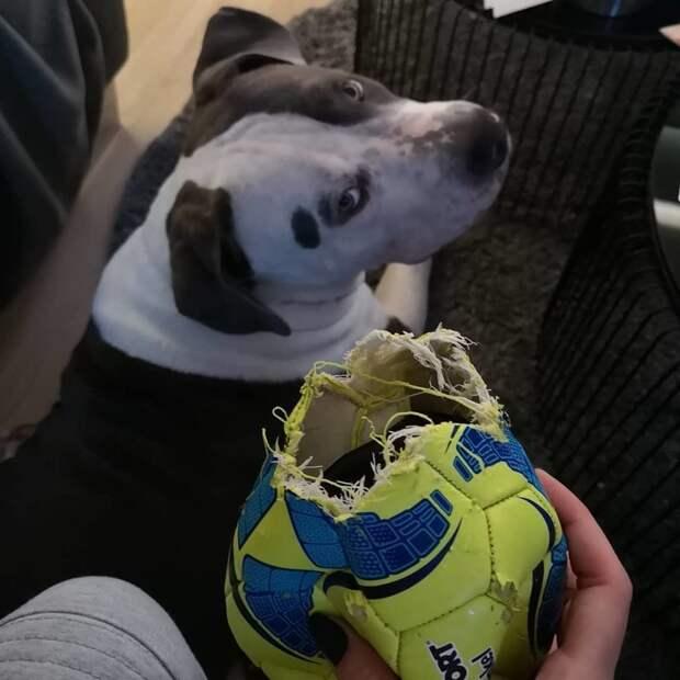 Тоже решил сыграть в футбол. Не рассчитал своих сил виноватые собаки, животные, собака раскаивается, собаки