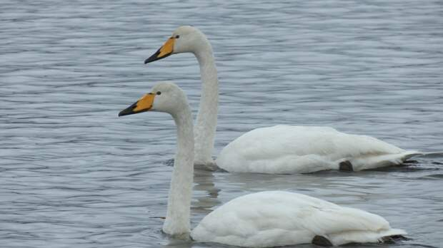 Примета осени: началась миграция лебедей, по пути в Европу они отдыхают в Петербурге