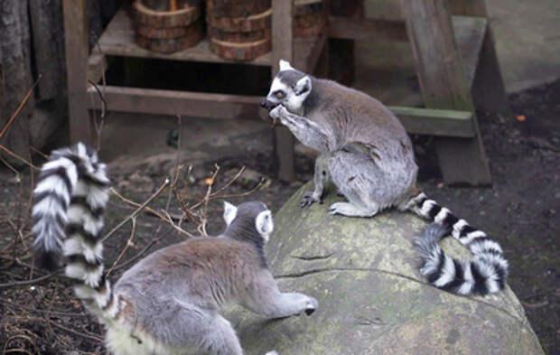 Лемуры Московского зоопарка устроили охоту на саранчу