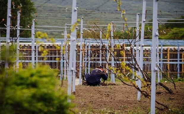 """Фермер называет это растение """"целой нефтяной скважиной"""" Дальний Восток, вино, виноград"""