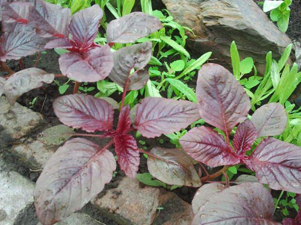 Как вырастить амарант овощной на своем участке