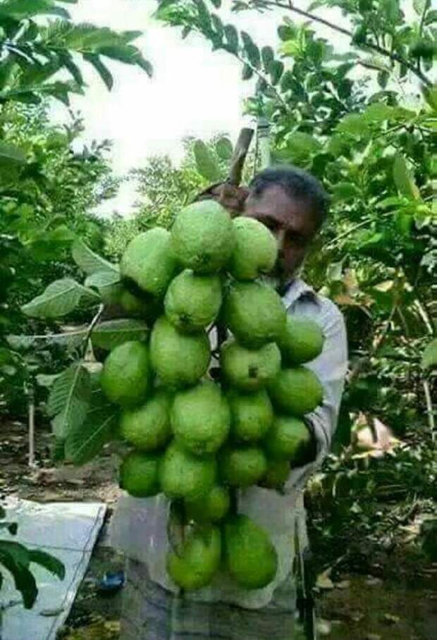Гуава в основном дает на одной ветке до 5 плодов. Но бывает и такое еда, изобилие, красиво, растения, урожай