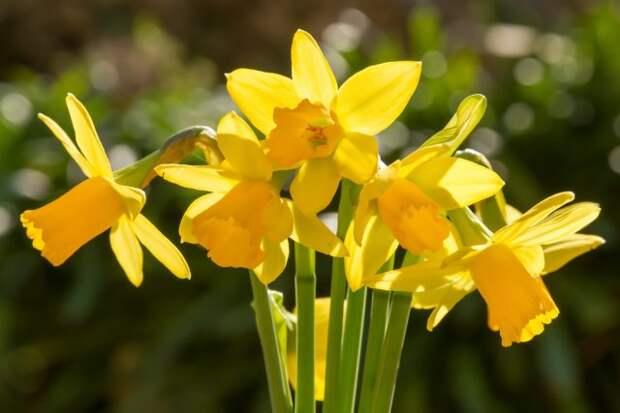 Нарциссы цветение