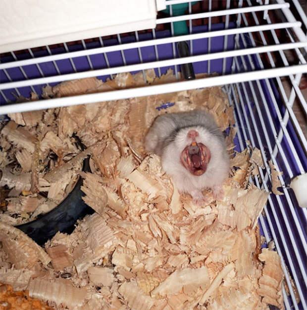 Очаровательные зевающие хомяки