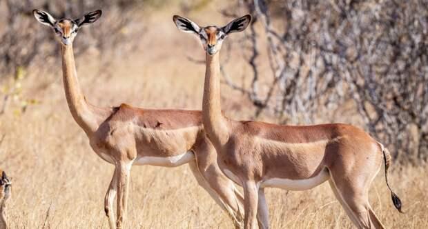 Afrika antilopa