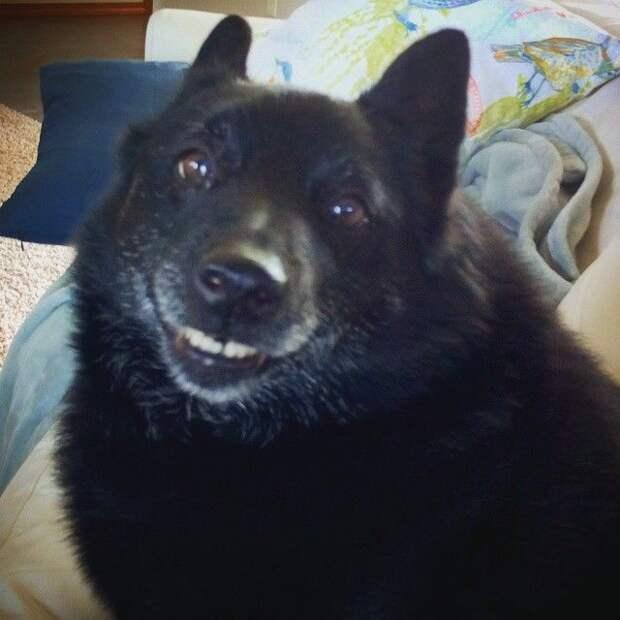 собака улыбака, собаки улыбаются, смешные собаки