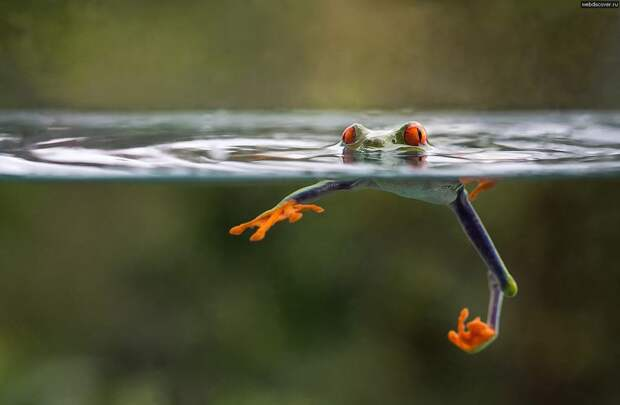 Frogs10 Оригинальные лягушки