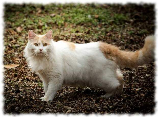 Оказывается, существует порода кошек, которая обожает воду