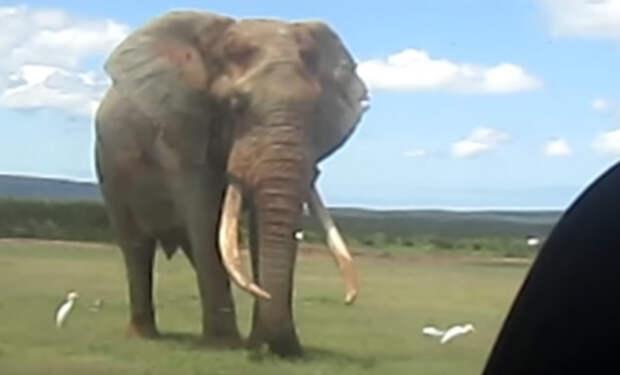 Самый большой слон в мире случайно попал на камеру