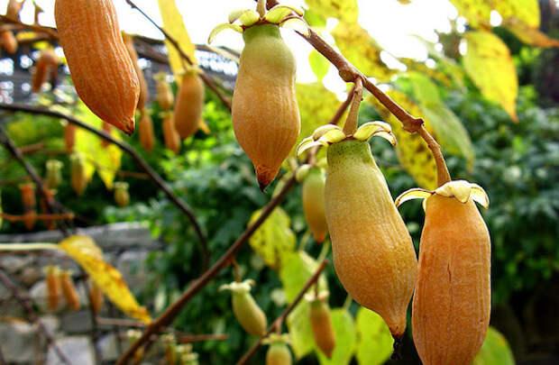 Актинидия полигамная: удивительная ягода со вкусом… перца!
