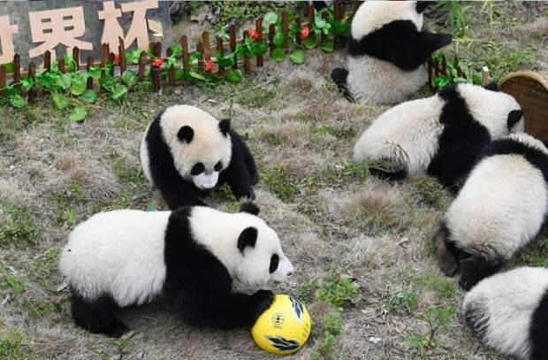 В Китае панды сыграли в самый милый «футбол» в мире