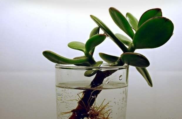 Простота размножения – одно из достоинств данного вида декоративного многолетника