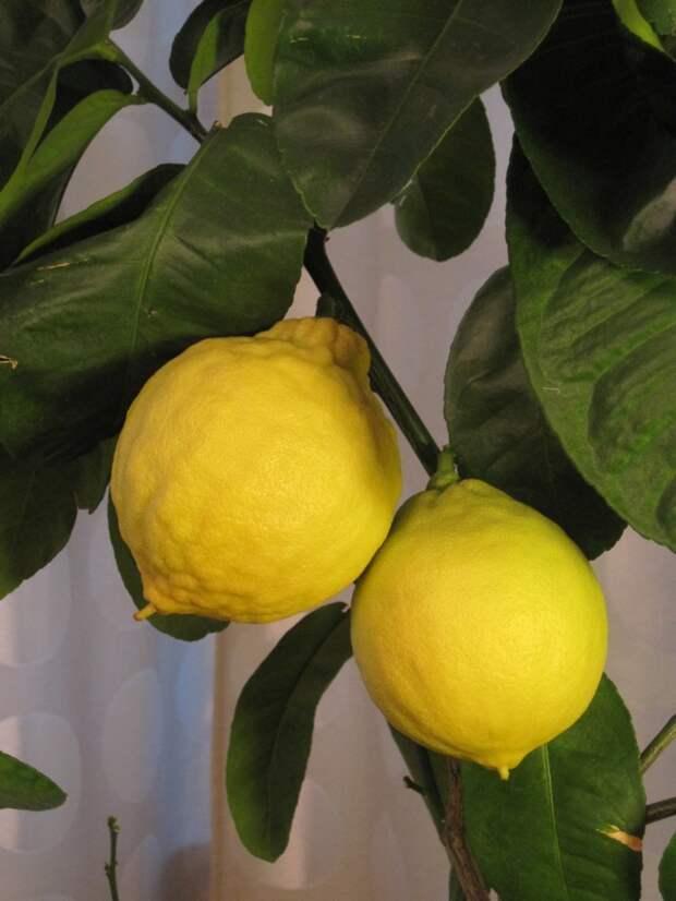 Цитрусомания. История про хомячка и медвежонка на новый лад выращивание дома, история про, лимон, цитрусовые