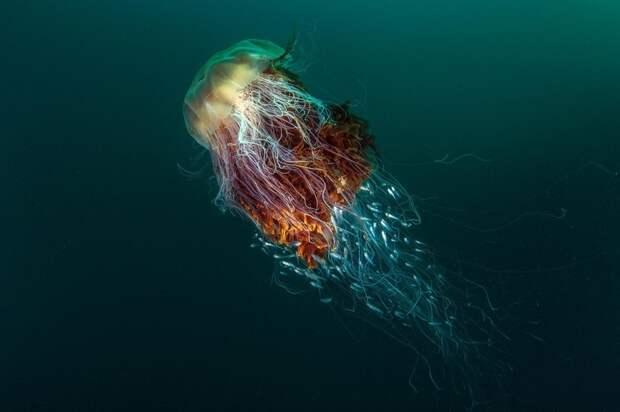 Арктическая цианея — самая большая медуза в мире
