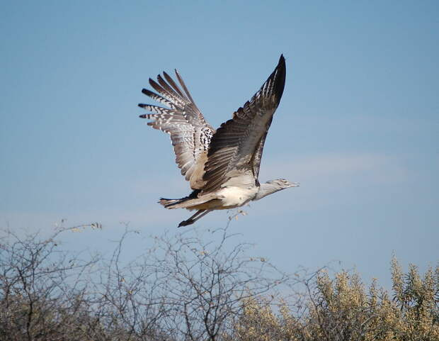 Летящая африканская дрофа. Фото Arnstein Rønning