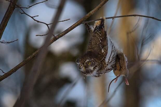 Воробьиный сычик показывает своей подруге полёвке как прекрасен мир с высоты птичьего полёта. Дикая природа удивительна!