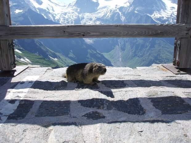 https://pixabay.com/photos/marmot-marmot-on-grossglockner-2063081