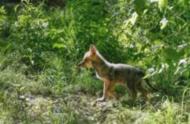 Впервые за 200 лет в Нидерландах родились волчата