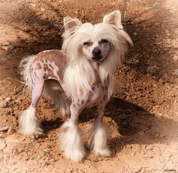 Китайская хохлатая декоративная порода собак. фото