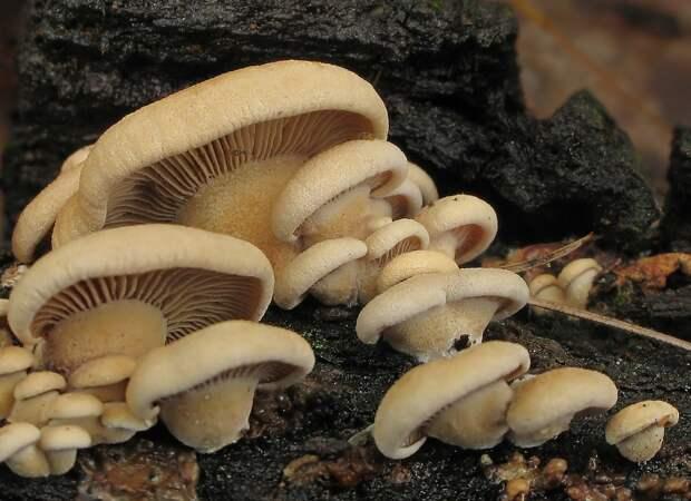 Биолюминесцентный гриб