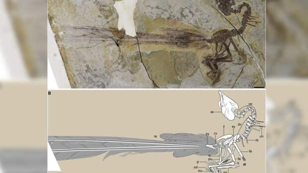 В Китае нашли птицу-современника динозавров с огромным бесполезным хвостом