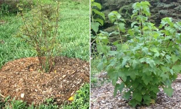 Ошибки, которые лишат вас урожая: выращивайте смородину правильно