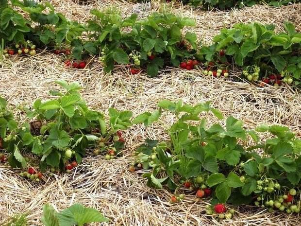 4 лучших удобрения для земляники садовой