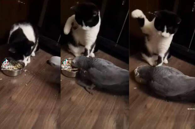 Кот совладал с желанием проучить попугая, решившего полакомиться его кормом
