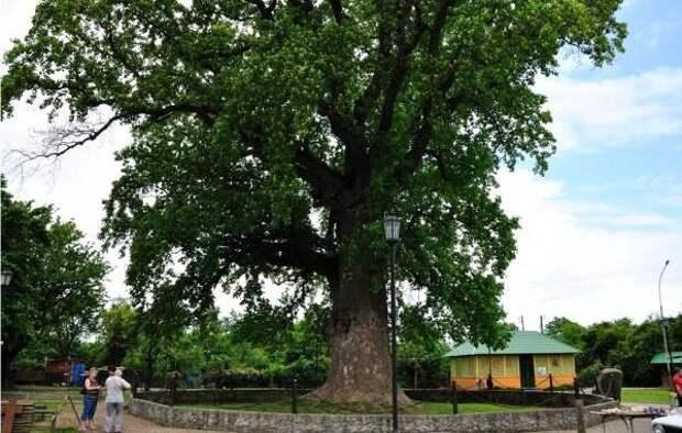 На Кубани пять деревьев получили статус памятников природы