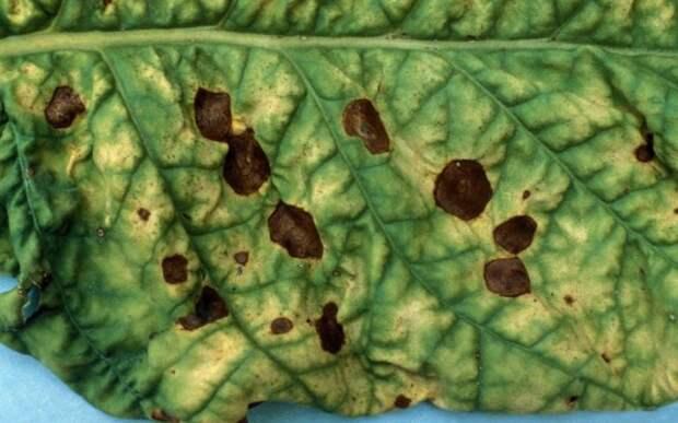 Кладоспориоз (оливковая пятнистость) огурцов