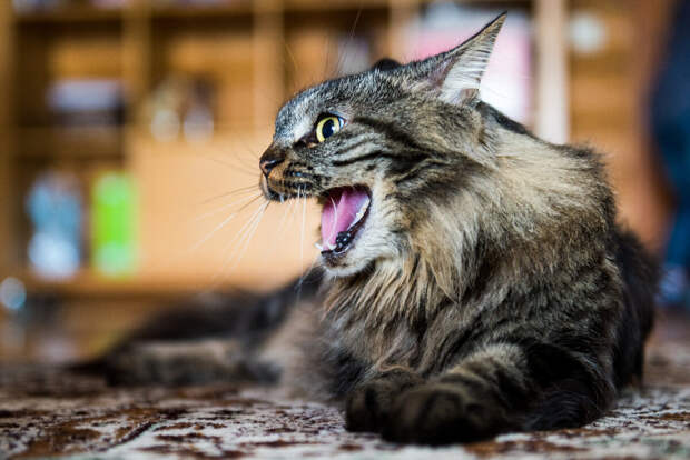 Как кот указывает на присутствия негативной энергии в доме