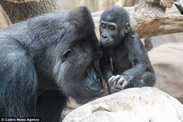 К слову, у Ричарда восемь детей! горилла, животные, забавно, звери, зоопарк, обезьяны, природа, фотогеничность