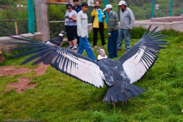 Может ли хищная птица поднять человека в воздух?
