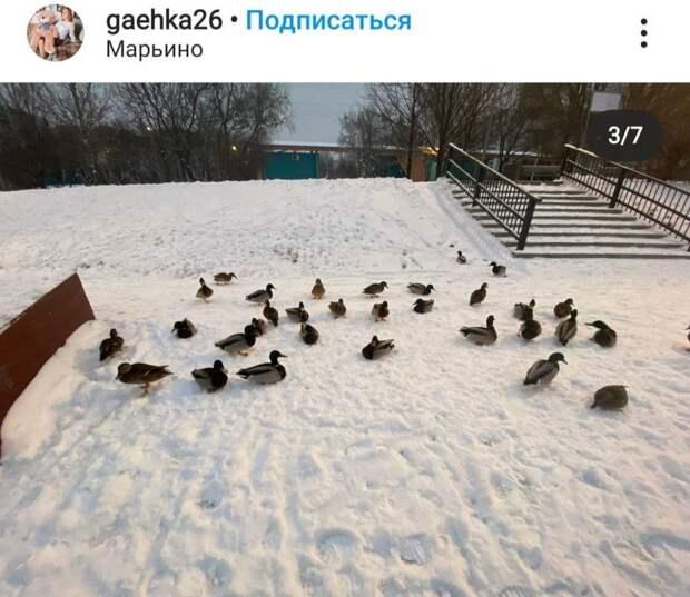 Фото дня: в Марьине утки вышли на охоту