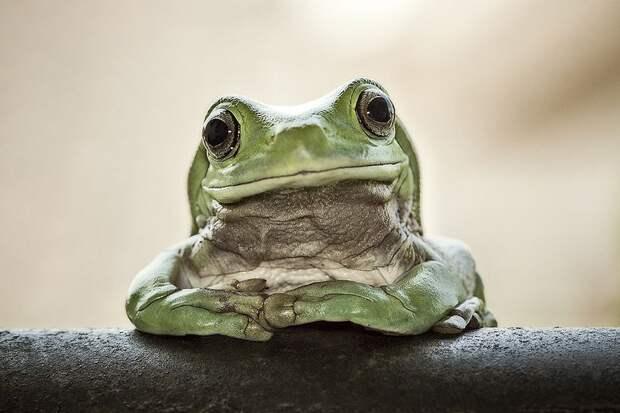 Frogs02 Оригинальные лягушки