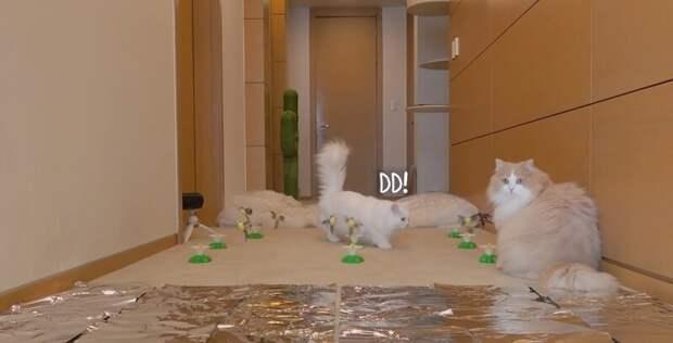 Полоса препятствия для котов